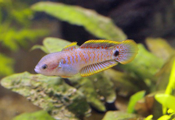 17 best images about gudgeon on pinterest peacocks live for Freshwater goby fish