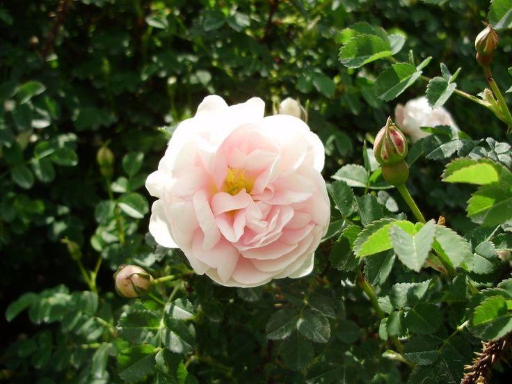 'Double Blush' Rose Photo