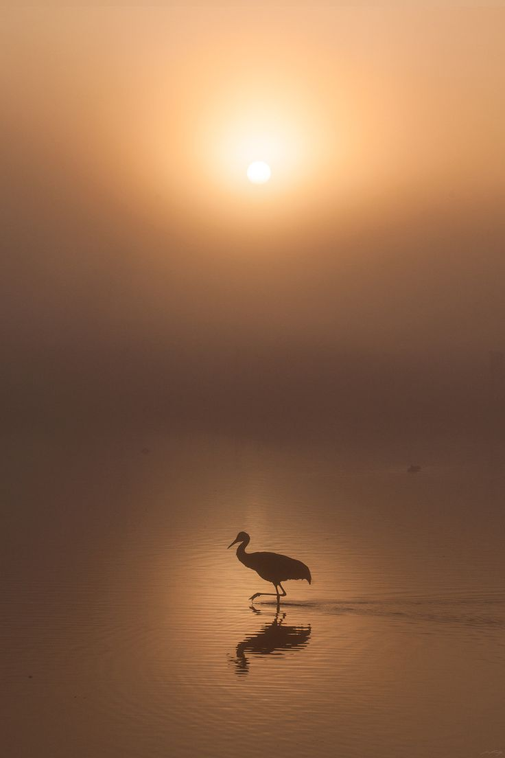 The rising sun burns through morning fog as Sandhill cranes wades through the shallow water of a lake in southwestern British Columbia, Canada.