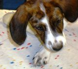 Be sure to grasp ears firmly during treatment so the pup doesn't fling out medicine too soon.