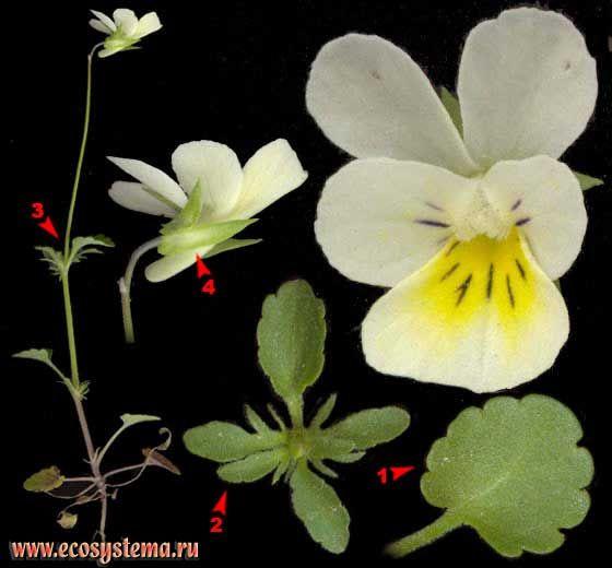 Фиалка трехцветная — Viola tricolor L. (Viola matutina Klok.)
