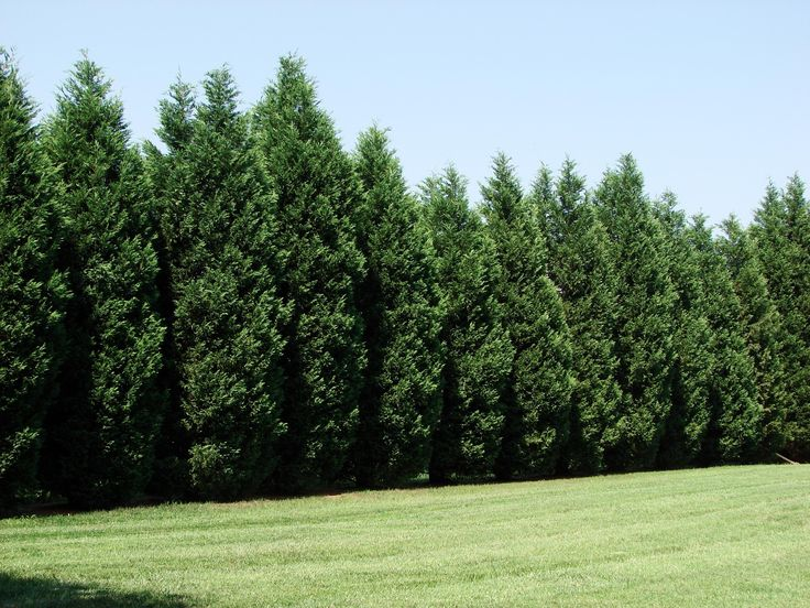 Landscaping Trees Privacy : Best ideas about privacy trees on