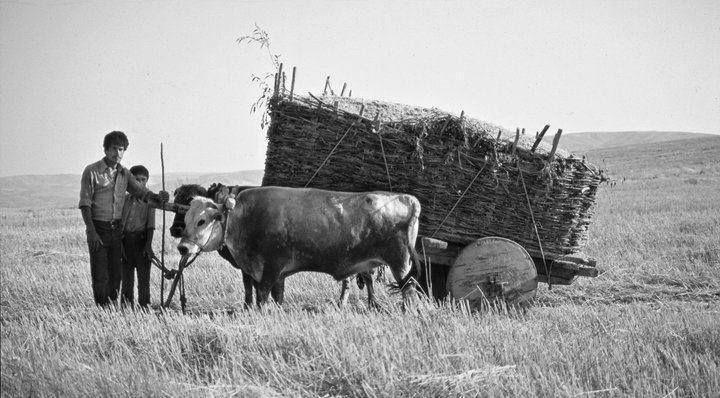 Anadolu da saman taşıyan kağnı arabası