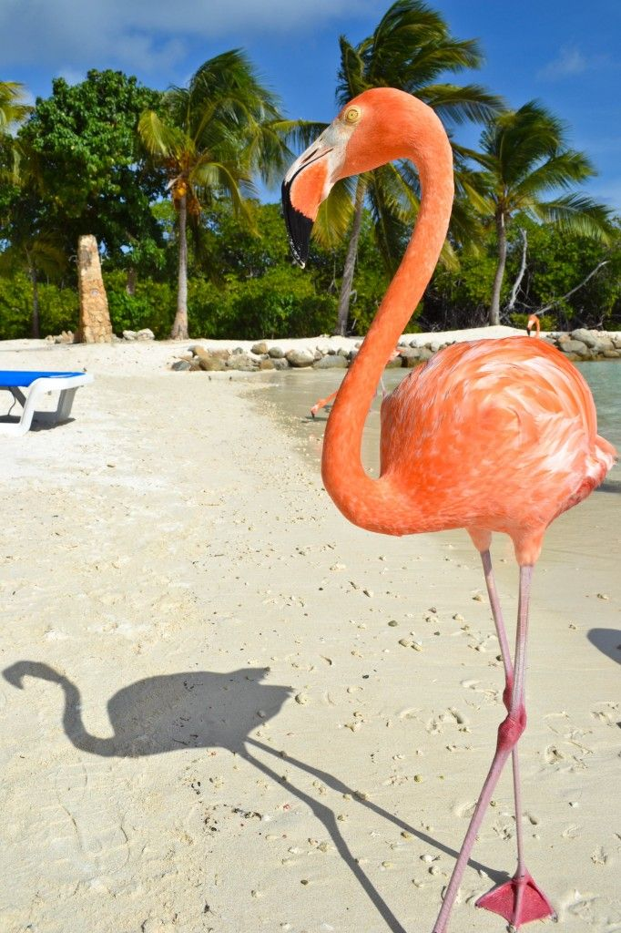 FLAMINGO BEACH ARUBA Shared from Know