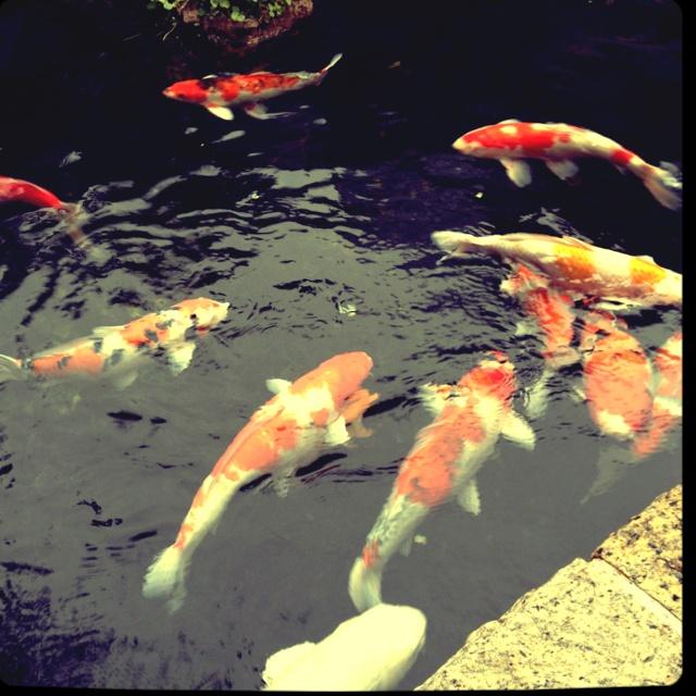 30 best koi fish images on pinterest koi carp pisces for Live japanese koi fish for sale