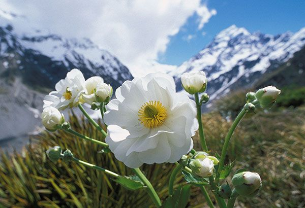 Mount Cook Lily