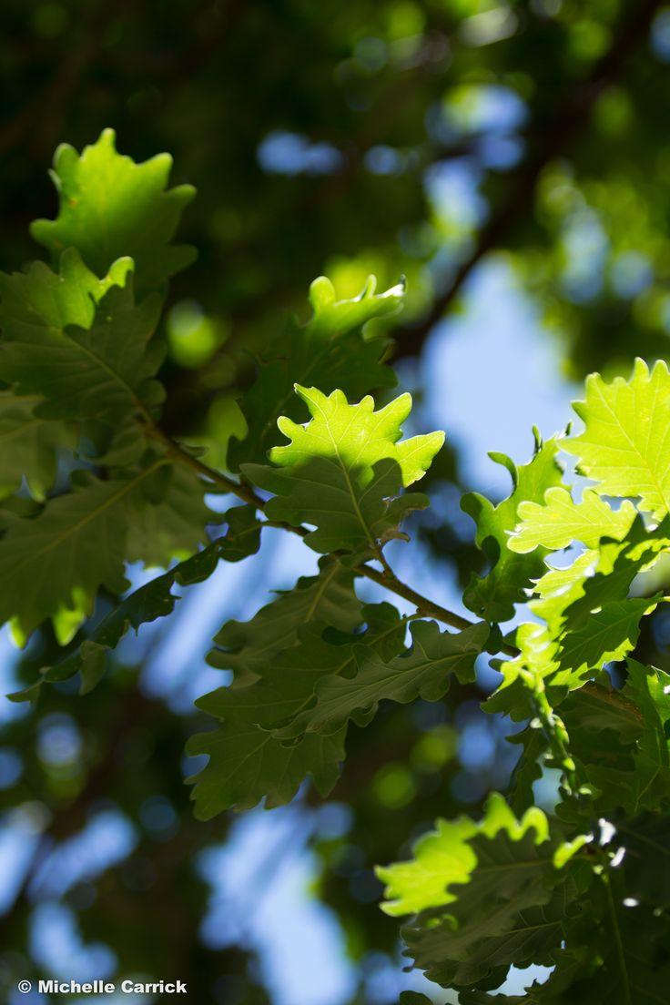 Sunlit Leaves - Maroondah Reservoir Park, Melbourne, Victoria, Australia.