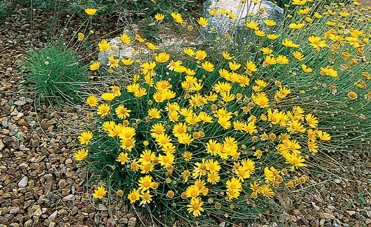 Angelita Daisy Garden Zone 13 Sunset Guide Or Zone 9