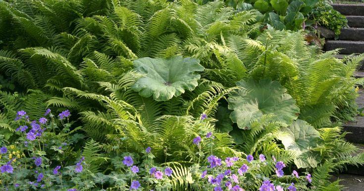 Farne werden in unseren Gärten bisher recht spärlich verwendet, dabei bieten die schönen Blattschmuckpflanzen eine unglaubliche Vielfalt. Die meisten Farne fühlen sich im Schatten oder Halbschatten am wohlsten. Doch es gibt sogar Arten, die in der Sonne gedeihen. | ferns shade garden