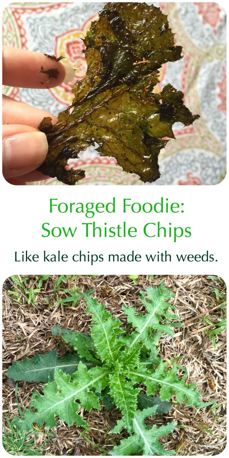 "Foraged, invasive sow thistle weeds made into ""kale"" chips. Invasivore eating from the Foraged Foodie."