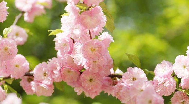 ЛУИЗЕАНИЯ Луизеания трехлопастная (Louiseania triloba) больше известна садоводам под другим названием: миндаль трехлопастной (Amygdalus triloba). Этот некрупный кустарник очень эффектен два раза в год. В начале мая, в период цветения, он напоминает распустившуюся сакуру, а в конце октября становится похож на костер благодаря желто-красно-оранжевой окраске листьев.