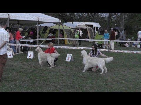 Miskolc Marathon Dog Show 2013.04.27. Golden retriever