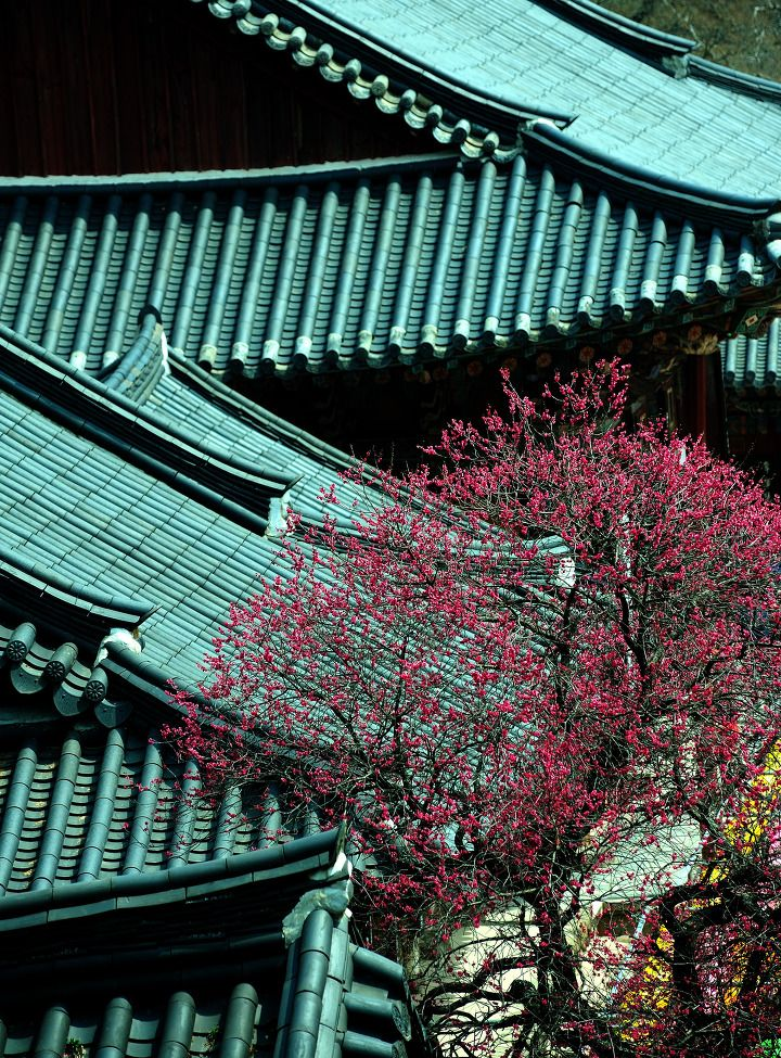 Plum blossoms, Hwaeomsa Temple, South Korea