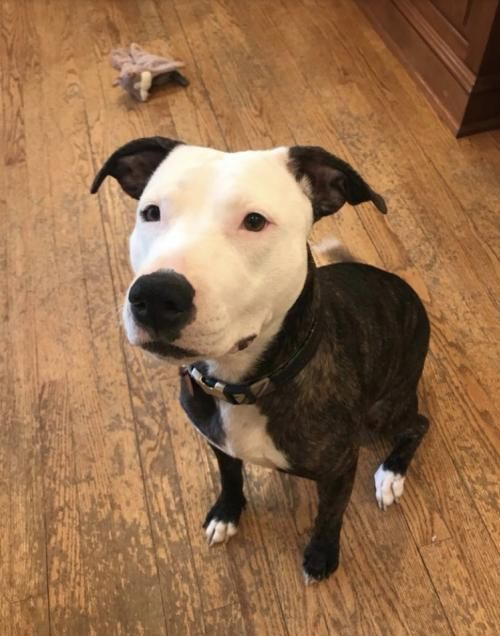 Cara is an adoptable Dog - Pit Bull Terrier Mix searching for a forever family near New York, NY. Use Petfinder to find adoptable pets in your area.