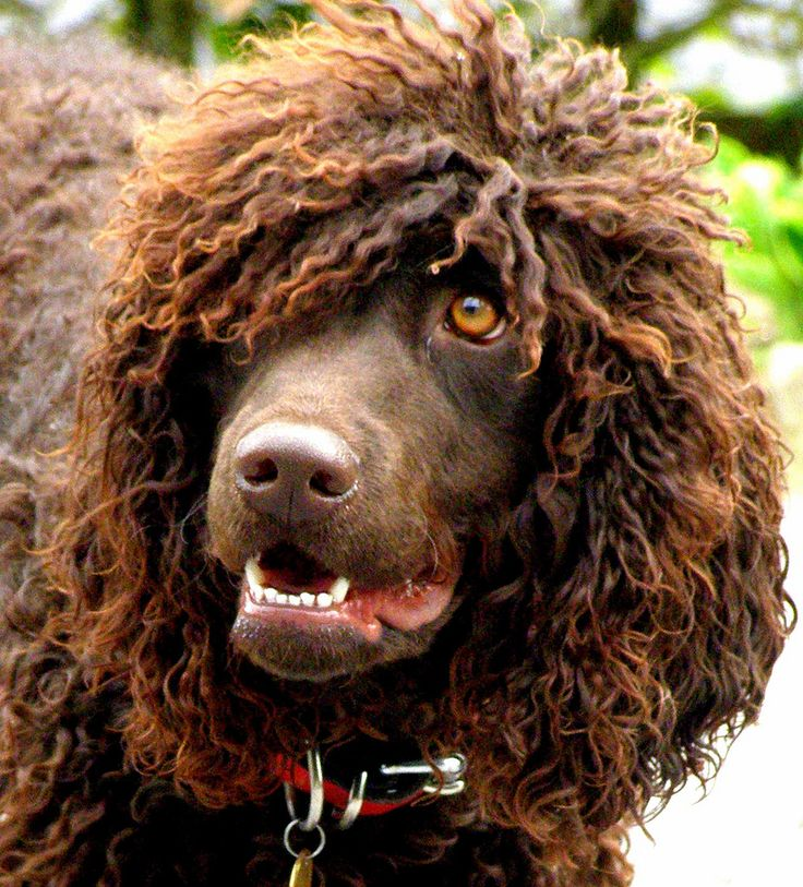 Irish Water Spaniel | Спаниель, Собаки