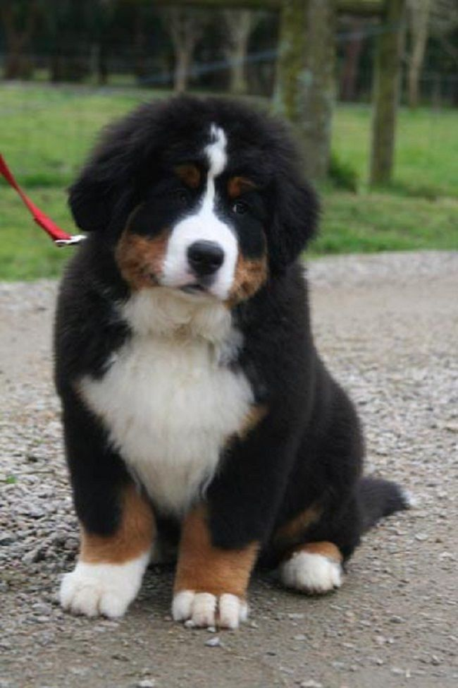 great bernese mountain dog pictures