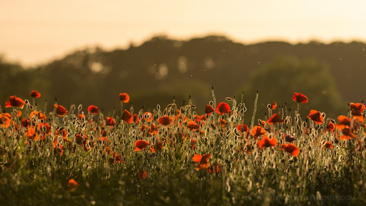 Poppies At Sunset by George Wheelhouse