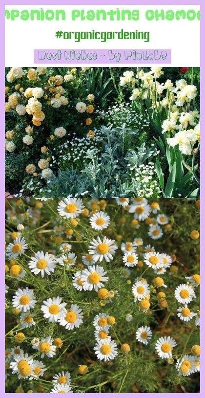 Companion Planting Chamomile Organicgardening Trending 400 x 300