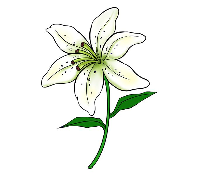 Learn to draw a beautiful lily. #lily #flower #drawing #tutorial https://easydrawingguides.com/how-to-draw-a-lily/