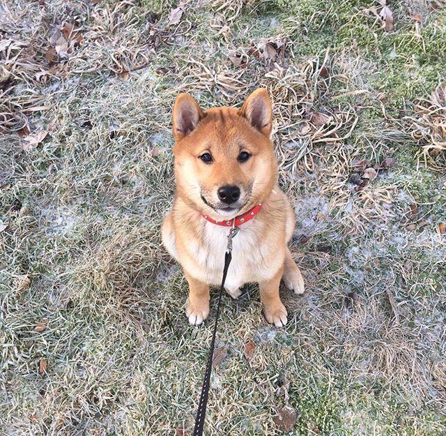 Hi everyone  #shibainu #shibagirl #shibalove #dogsofinstagram #puppy #redshiba #instashibas #instadog #puppy #dog #doge #doggy #piesel #pieseł #szczeniak #mylove #furbaby #instadog #柴犬