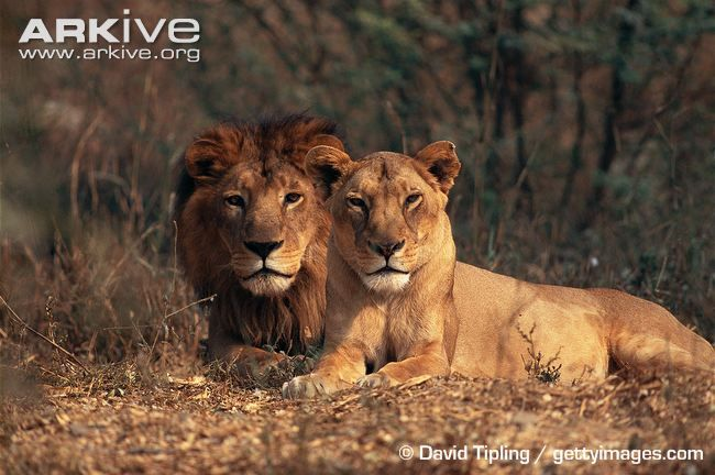 Asiatic lion and lioness - View amazing Lion photos - Panthera leo - on ARKive