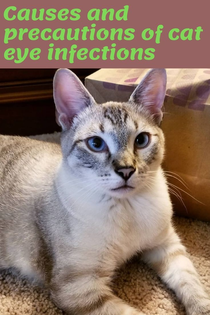 The Procedure To Care Of Your Cute Cat In Case Of Cat Eye Infection Cats Cat Eye Infection Pretty Cats