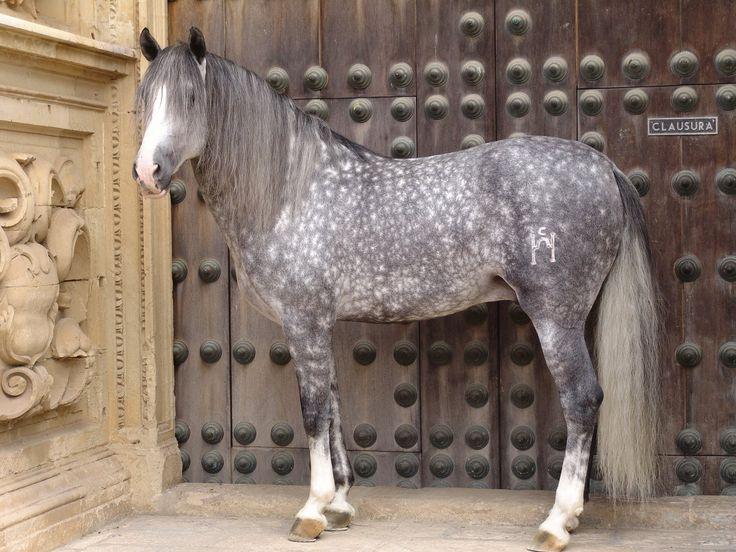 Caballos andaluz. / Andalusian horse.  dappled grey stunningly beautiful