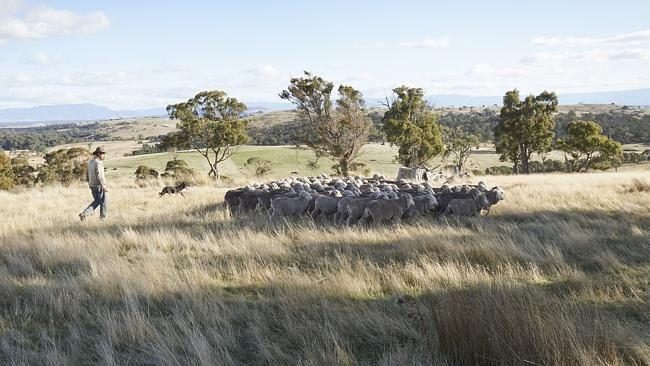 Flock to it: Superfine wool grower Allan Phillips with some superfine Merinos. Picture: P