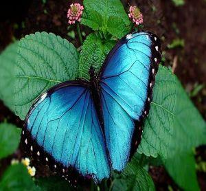 Fauna de la selva peruana - La mariposa azul  es una mariposa neotropical, les encanta salir a la luz del sol, generalmente  vuelan solas, son muy territoriales, se alimentan del néctar de las frutas, con lo cual muchas veces han sido atraídas con ese manjar para ser capturadas.