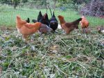 Chicken compost heap.