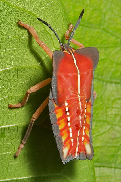 Lychee Stink Bug Nymph (Tessaratoma papillosa, Tessaratomidae) by itchydogimages, via Flickr