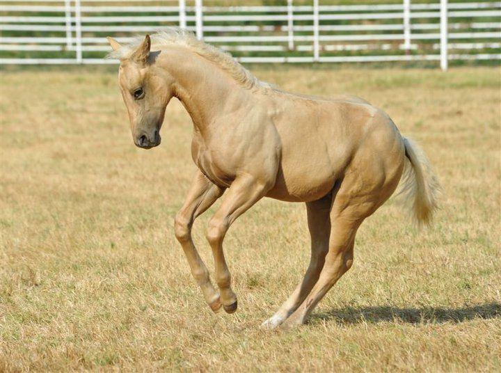 palomino foal - photo #4