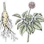 Die Ginseng Pflanze ist sehr empfindlich gegen Sonnenstrahlen und braucht deswegen schattige Plätze für ein gesundes Wachstum. Nach etwa 3 Jahre trägt sie erstmals rote Beeren. Der darin enthaltene Samen wird geerntet und zur Aufzucht neuer Ginseng Pflanzen verwendet.    Die Ginseng Pflanze wird ca. 30 bis 60 Zentimeter groß. Sie kann nach 5 Jahren geerntet werden. Die Wurzeln sind der wertvollste Teil der Pflanze. Der wichtigste Wirkstoff der Heilpflanze werden Ginsenoside genannt.