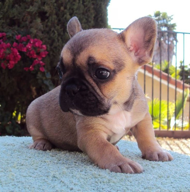 French bulldog tan - photo#6