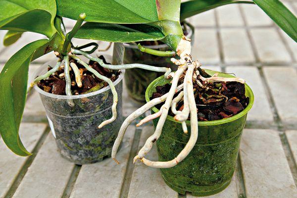 Aby boli vaše orchidey opäť vo forme 2