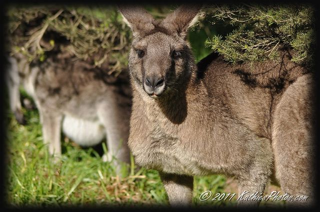 Eastern Grey Male Kangaroo. I love this picture.  He's posing for me.