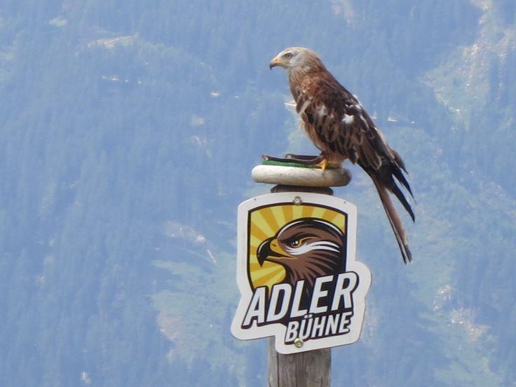 ADLERBÜHNE auf dem Genießerberg Ahorn in Mayrhofen. Greifvögel (fast) zum Anfassen!