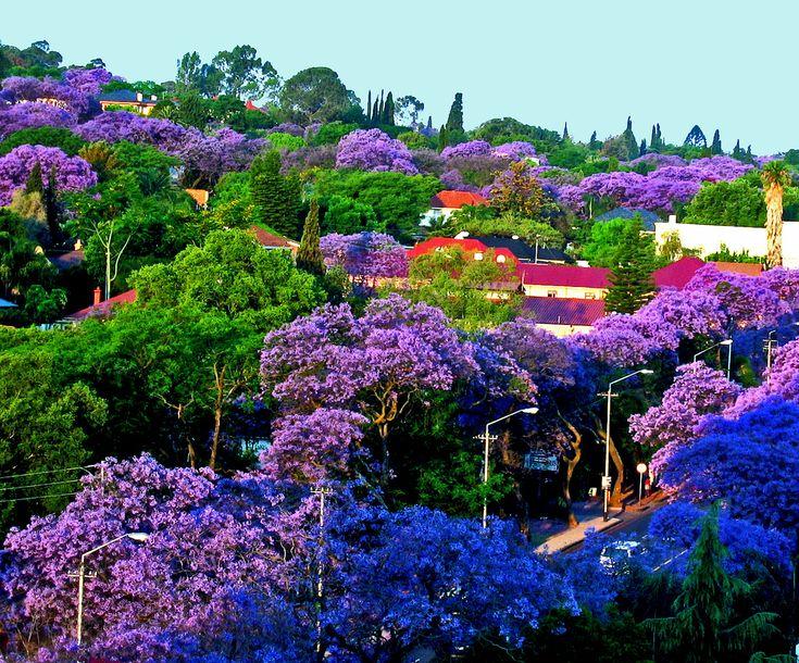 Pretoria-Sunset Light on Jacarandas by giovanni paccaloni, on Flickr
