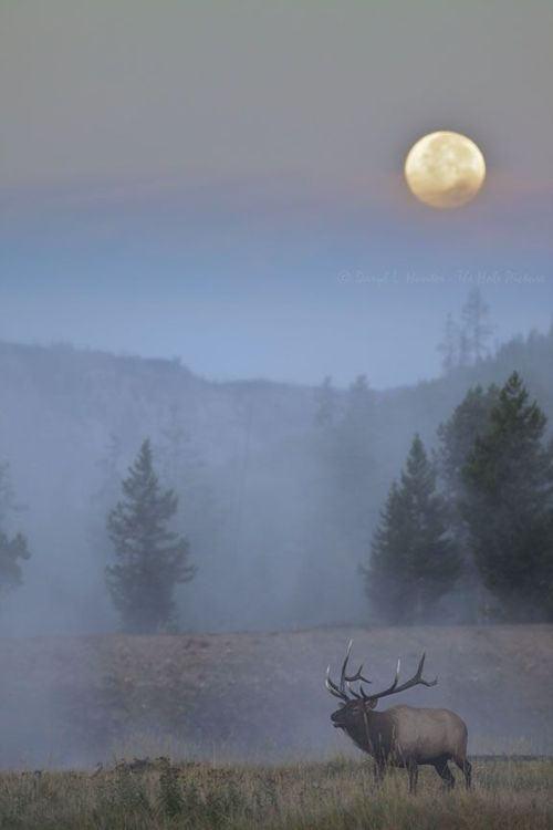 Full Moon over Bull Elk, Yellowstone National Park, Wyoming.