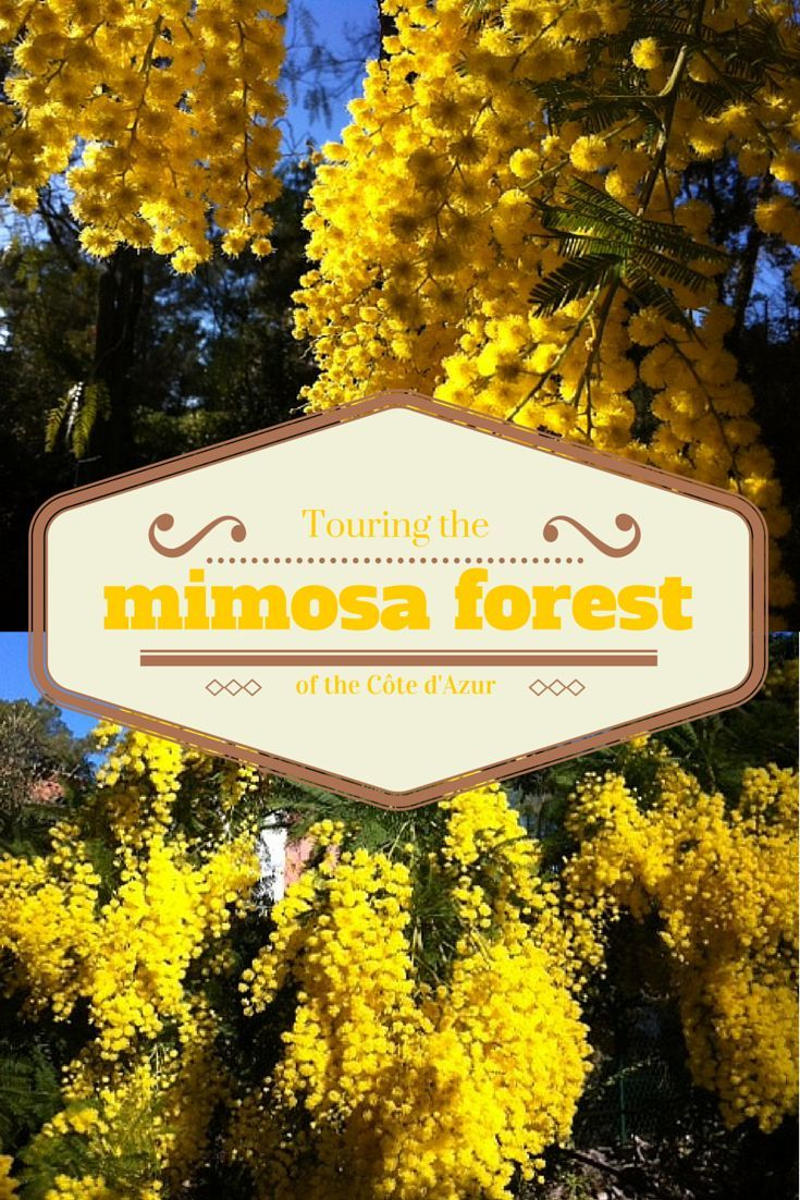 Visiting the MIMOSA forest in Tanneron, Côte d'Azur via @loumessugo ♥ #epinglercpartager