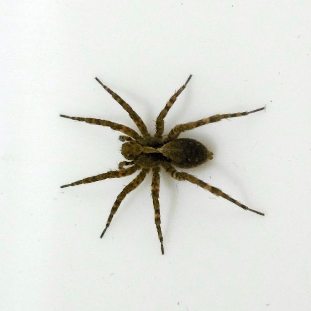 Funnel web wolf spider Family Lycosidae