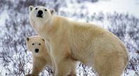 Polar Bear, © Paul Nicklen / National Geographic Stock