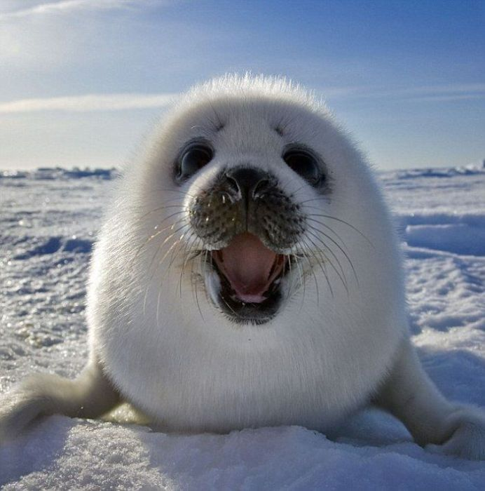 Kuutti /Saimaa ringed seal ~ The only existing population of these seals is found in Lake Saimaa.They are among the most endangered seals in the world, having a total population of only about 310 individuals.