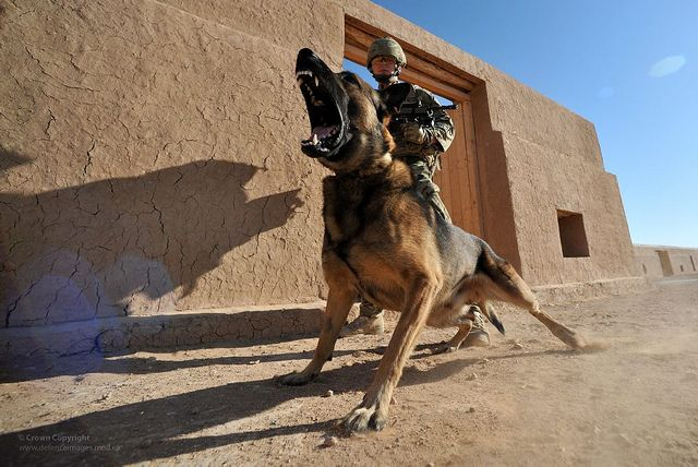 German Shepherd Military Dogs | Belgian Shepherd Protection Dog with ...
