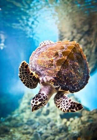 Eretmochelys imbricata flota bajo el agua  Mar  Rojo