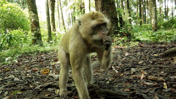 DIBALIK LAYAR JEJAK RIMBA  - Monyet kra [2]  (Macaca fascicularis) adalah monyet  asli Asia Tenggara  namun sekarang tersebar di berbag...