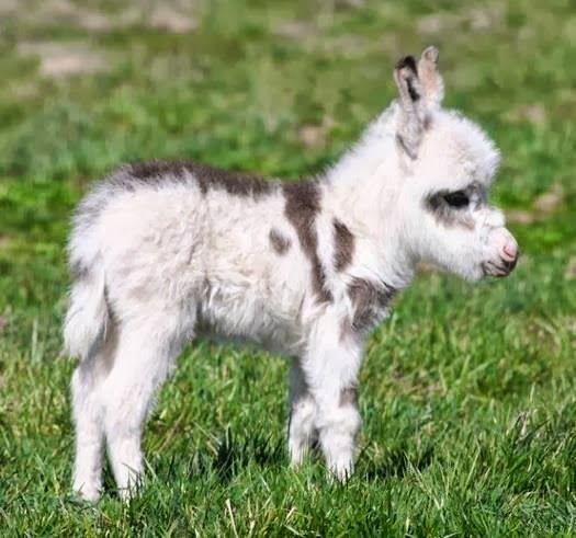 Here's a miniature donkey .. precious - Cute animals world