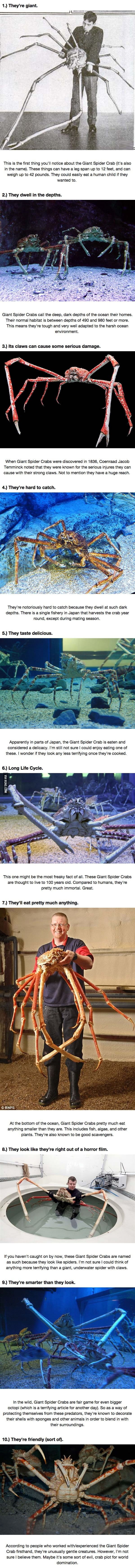 10 Reasons Why The Giant Spider Crab Is The Crustacean Of Your Nightmares.