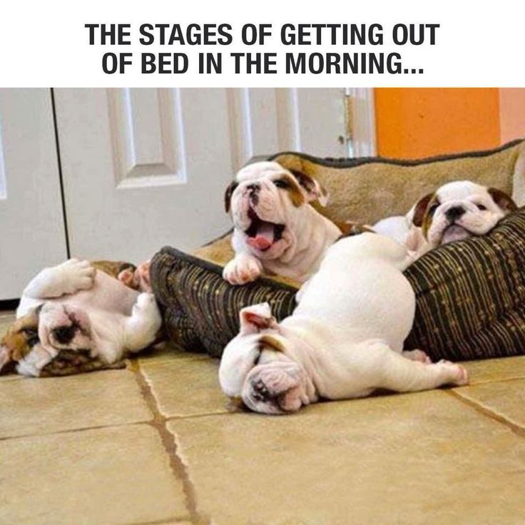 I think I got stuck somewhere between stages 2 and 3 this morning. #dogs #funny #bulldogs #puppies