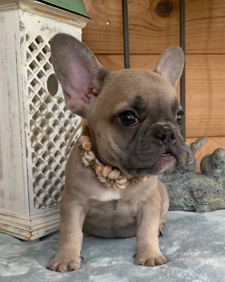 The Domestic Dog Blue French Bulldog Sold Izzy Blue Fawn French